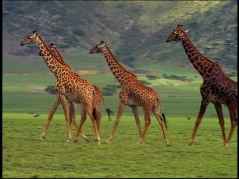 vidéos et rushes de pan profile group of giraffes walking on plain / hill in background / serengeti, tanzania, africa - cou d'animal