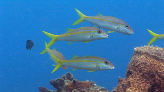 cu, group of goatfish (mulloidichthys sp) moving at coral reef, saint lucia - goatfish stock videos & royalty-free footage