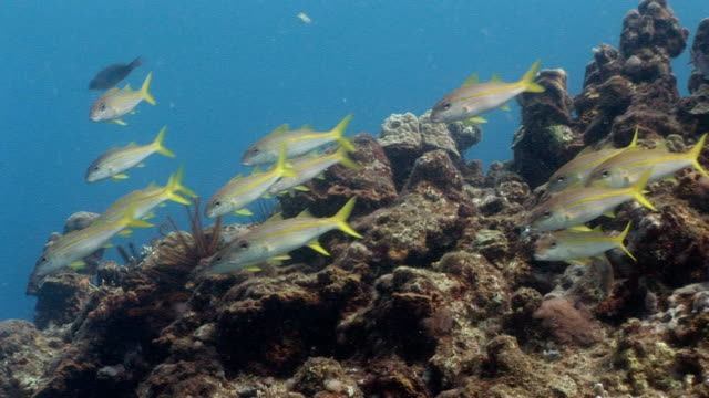 ms, group of goatfish (mulloidichthys sp) moving at coral reef, saint lucia - goatfish stock videos & royalty-free footage