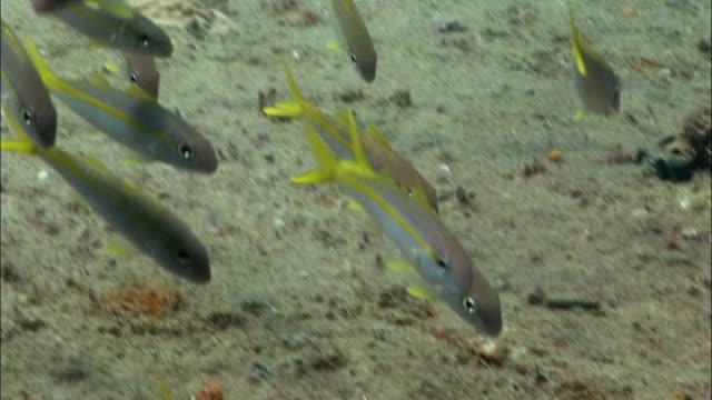 cu, group of goatfish (mulloidichthys sp) moving at sea floor, saint lucia - goatfish stock videos & royalty-free footage