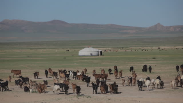 group of goats and sheep in open field next to camp - independent mongolia stock videos and b-roll footage