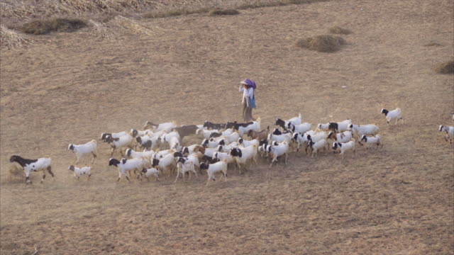 group of goats and shepherd walking in the farm - herding stock videos & royalty-free footage