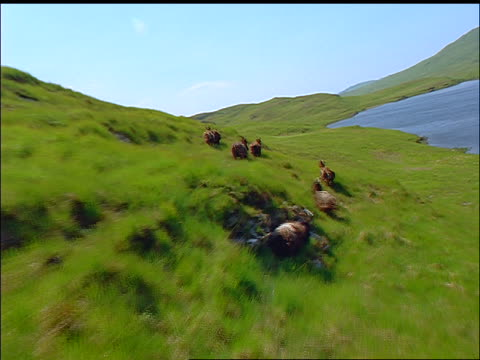 AERIAL group of goats running on side of green hill by lake / Isle of Jura, Western Isles, Scotland