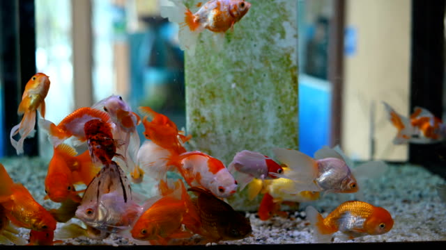 group of gold fish swimming in aquarium, fish tank, with coral reef, animals, nature - bowl stock videos & royalty-free footage