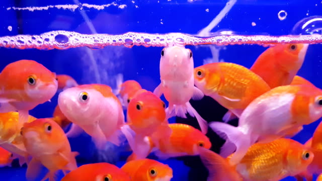 group of gold fish with fishbowl on the blue background - bowl stock videos & royalty-free footage
