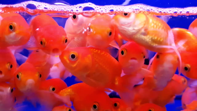 group of gold fish with fishbowl on the blue background - goldfish stock videos & royalty-free footage