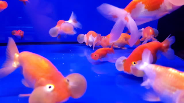 group of gold fish with fishbowl on the blue background - fishbowl stock videos and b-roll footage