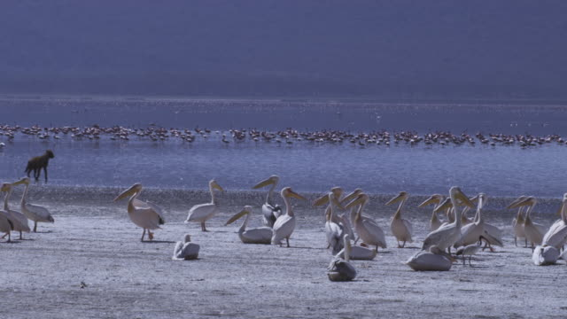 group of great white pelicans standing on lake shore as hyena runs along shoreline in background - pelican stock videos & royalty-free footage