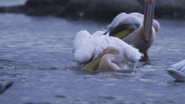 Group of Great White Pelicans washing and preening in Lake Nakuru