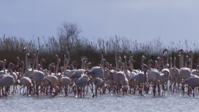 Group of Greater Flamingoes standing in lake and preening