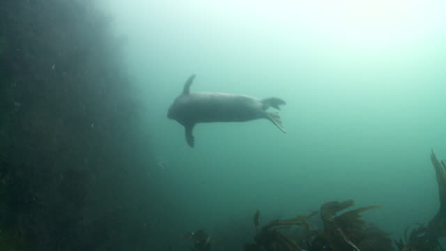 group of grey seals swimming over kelp - kegelrobbe stock-videos und b-roll-filmmaterial