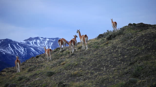 vídeos de stock e filmes b-roll de ws group of guanacos on top of hill with mountains / torres del paine, chilean patagonia, chile - chile
