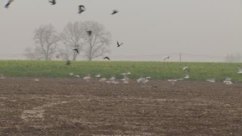 vídeos y material grabado en eventos de stock de a group of gulls and crows take off from a muddy field strewn with crop remains, northern france. - campo arado