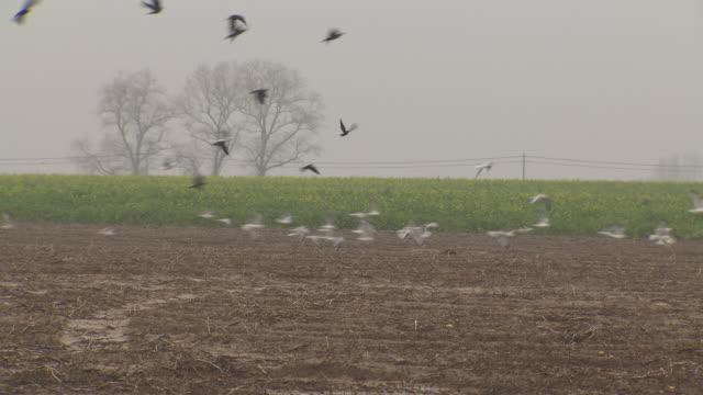 a group of gulls and crows take off from a muddy field strewn with crop remains, northern france. - pflug stock-videos und b-roll-filmmaterial