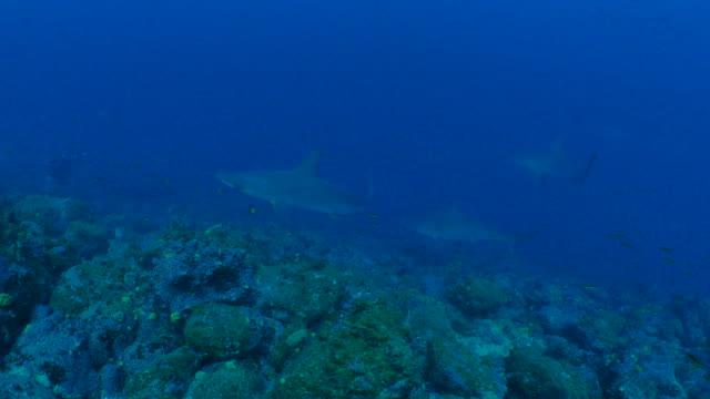 group of hammerhead shark swimming in undersea reef, galapagos - galapagos shark stock videos & royalty-free footage