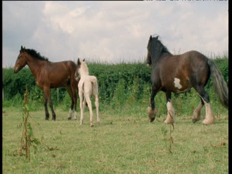 Group of heavy horses in field get spooked and trot away, UK