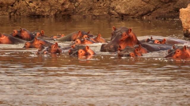 MS Group of hippos at lake / Lukuzi, Eastern, Zambia