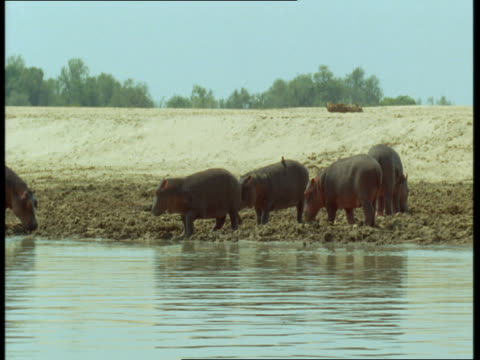 a group of hippos graze in the mud on a riverbank. - foraging stock videos and b-roll footage