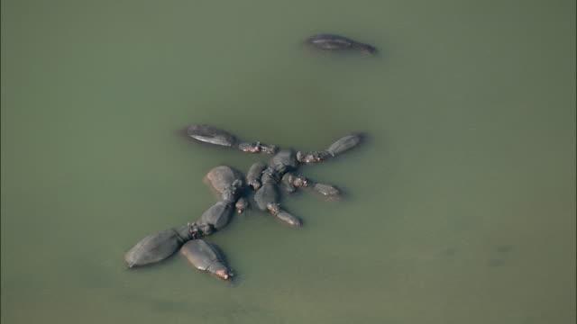 aerial ws group of hippos sleeping in lake, hluhluwe, kwazulu natal, south africa - hluhluwe stock videos and b-roll footage