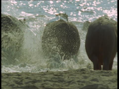 stockvideo's en b-roll-footage met a group of hippos turn and flee into the water. - op hol slaan