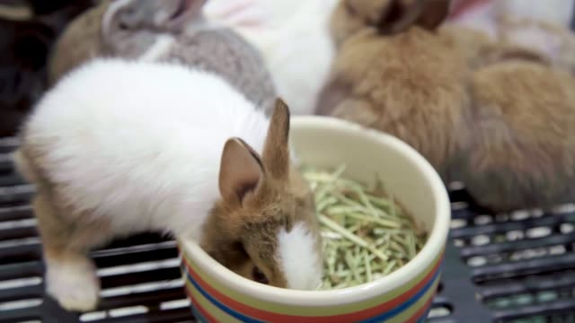 vídeos de stock e filmes b-roll de group of holland lop rabbits eating and sleeping in cage. - casa de quinta