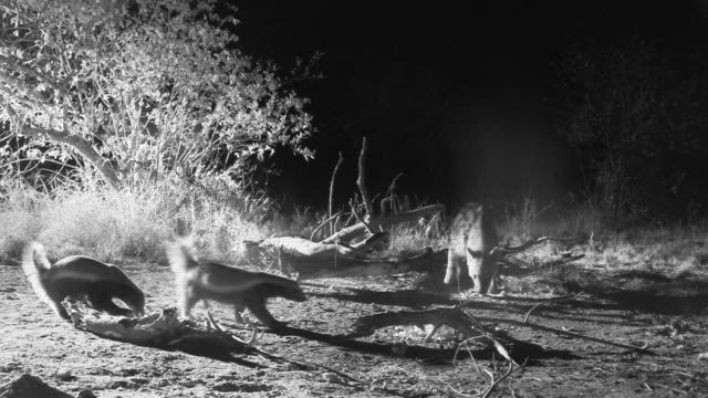 Group of honey badgers back away from food as hyena approaches.