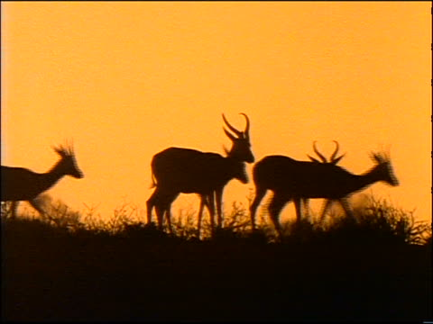 orange pan silhouette group of horned animals (springboks?) walking in tall grass at sunset - 草食性点の映像素材/bロール