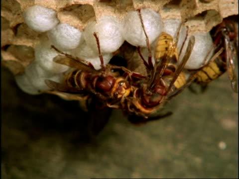vidéos et rushes de mcu group of hornets (vespa crabro) clustered on cocoons, england - vespa