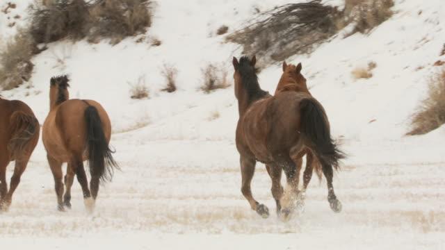 slo mo ws pan group of horses galloping away in snowy landscape / shell, wyoming, usa - galoppera bildbanksvideor och videomaterial från bakom kulisserna