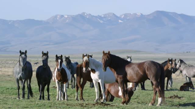 Group of horses standing as Paint walks through and shakes head