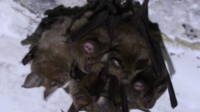 group of horseshoe bats in winter / demilitarized zone, cheorwon, gangwon-do, south korea - animal nose stock videos & royalty-free footage