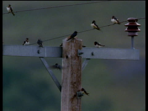 group of house martins perched on aerial mast - telegraph stock videos & royalty-free footage