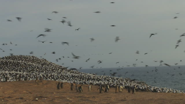 group of humboldt penguins looking around nervously with peruvian booby colony in background and massed guanay cormorants flying overhead - 営巣地点の映像素材/bロール