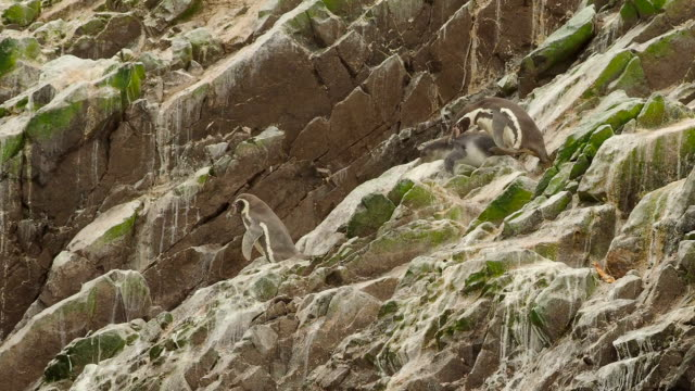 group of humboldt penguins on ballestas islands close-up, peru - eco tourism stock videos & royalty-free footage