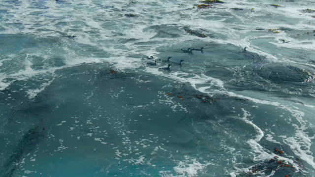 group of humboldt penguins pushed by the waves / punta san juan, peru, south america - large stock videos & royalty-free footage