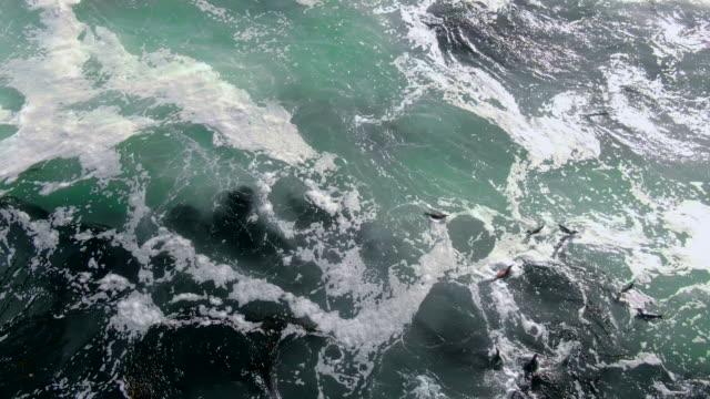 group of humboldt penguins swimming in the ocean / punta san juan, peru, south america - algae stock videos & royalty-free footage