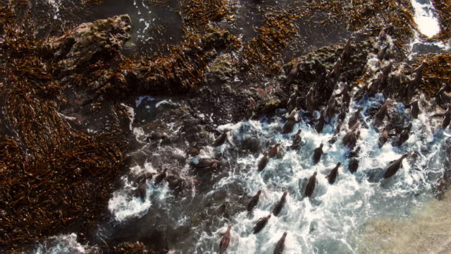 group of humboldt penguins swimming through algae in the ocean / punta san juan, peru, south america - survival stock videos & royalty-free footage