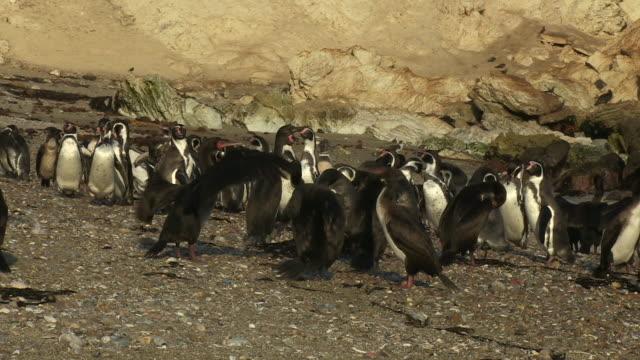 group of humboldt penguins with guanay cormorants preening - preening animal behavior stock videos & royalty-free footage
