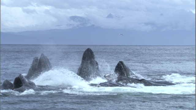 a group of humpback whales feed by bubble netting. available in hd. - val cetacea bildbanksvideor och videomaterial från bakom kulisserna
