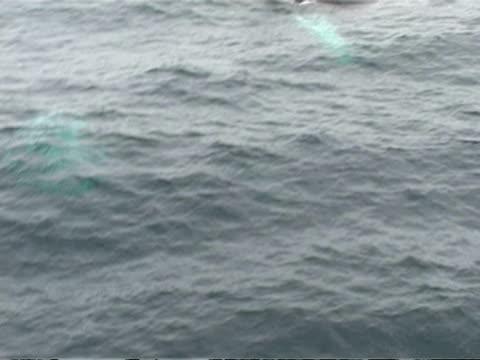 ms group of humpback whales, megaptera novaeangliae, surfacing, antarctica - surfacing stock videos & royalty-free footage
