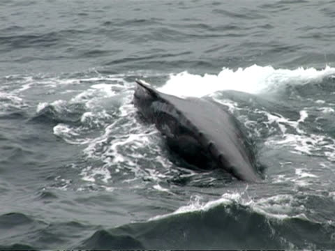 ms group of humpback whales, megaptera novaeangliae, surfacing, blowhole visible, antarctica - surfacing stock videos & royalty-free footage