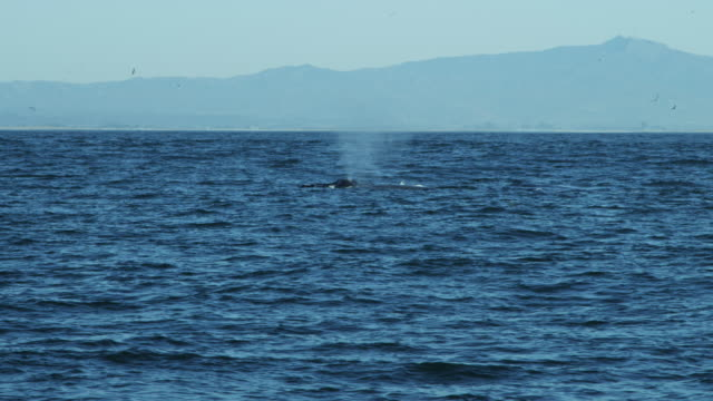 Group of Humpback Whales surface swimming Pacific USA