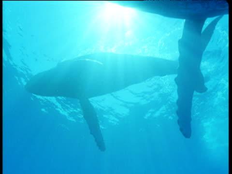 group of humpback whales swim overhead in sunburst blue ocean, hawaii - flock havslevande däggdjur bildbanksvideor och videomaterial från bakom kulisserna