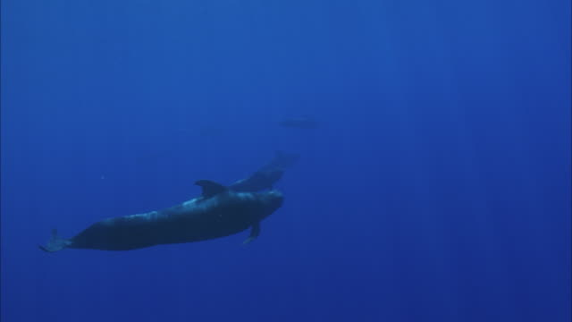 slo mo ws group of humpback whales (megaptera novaeangliae) swimming in ocean / moorea, tahiti, french polynesia - moorea stock videos and b-roll footage