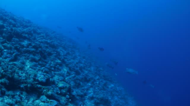 リーフの humphead ブダイのグループ - 野生生物保護点の映像素材/bロール
