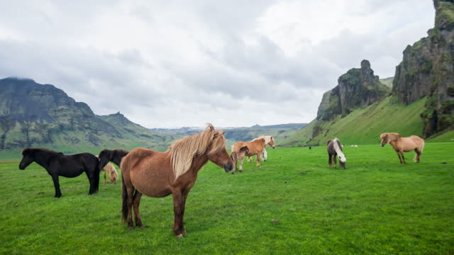 group of icelandic wild horses grazing on a green pasture in iceland - animal hair stock videos & royalty-free footage