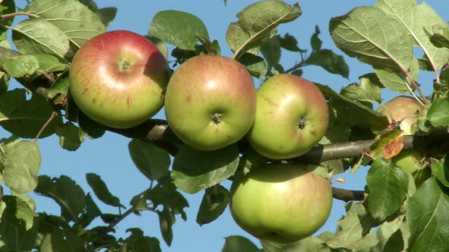 cu group of immature apples at tree / kirf, rhineland-palatinate, germany - five objects stock videos & royalty-free footage
