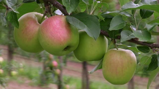stockvideo's en b-roll-footage met cu group of immature apples at tree / serrig, rhineland-palatinate, germany - vier dingen