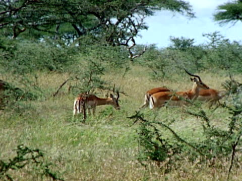 vídeos y material grabado en eventos de stock de group of impala antelopes standing together watching ws crouched leopard standing in tall grass tail moving side to side - squiggle
