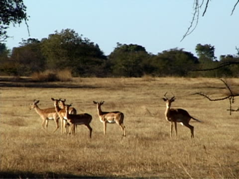 group of impalas - medium group of animals stock videos & royalty-free footage